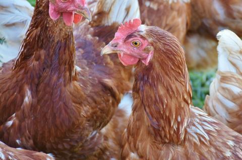 ЕС ввел временные ограничения на поставки птицы из России
