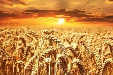 Поле пшеничное